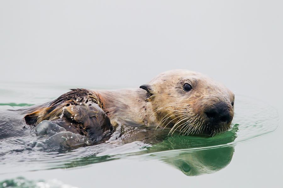 Sea Otter Swimming In Elkhorn Slough Photograph by Sebastian Kennerknecht