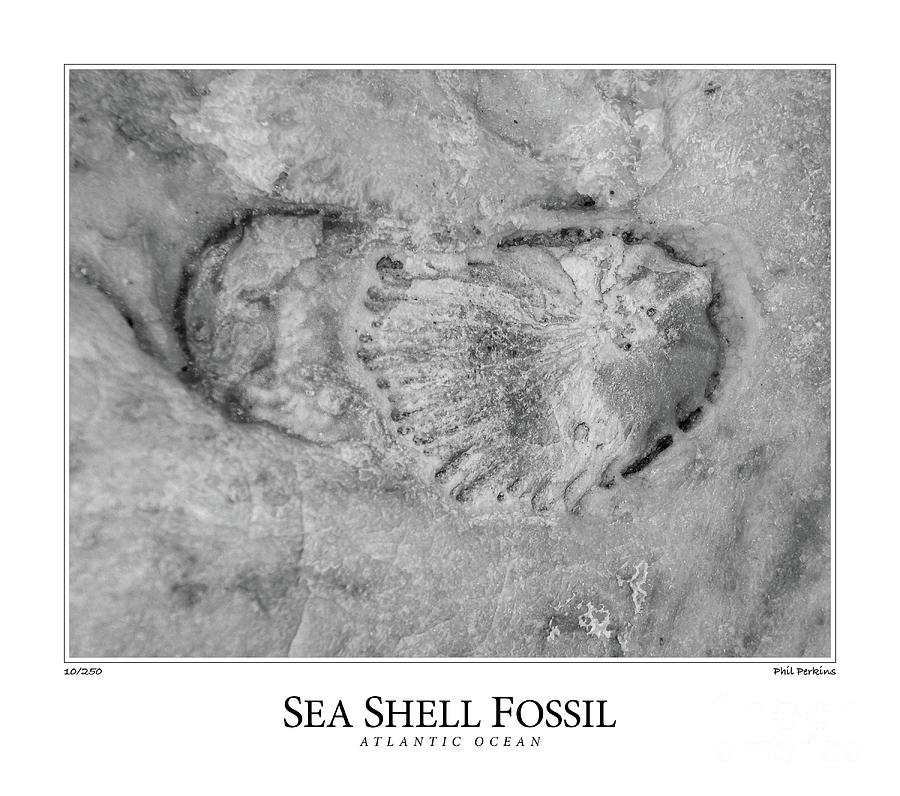 Fossil Photograph - Sea Shell Fossil by Phil Perkins
