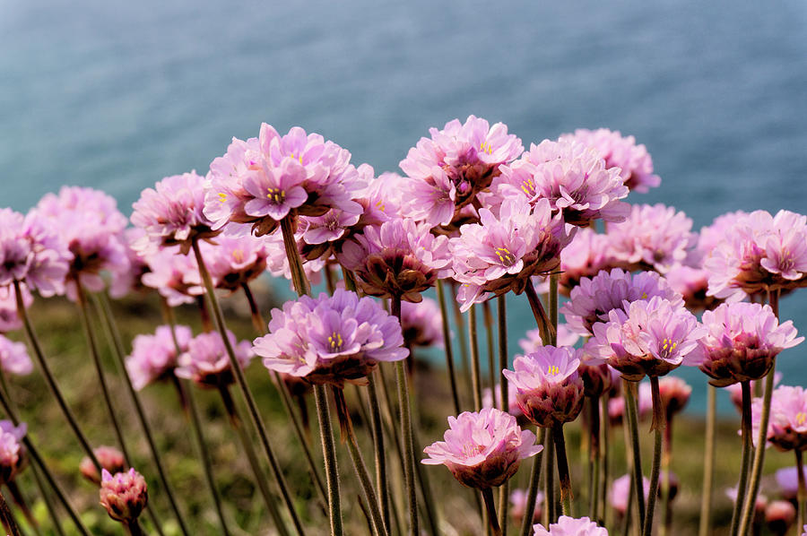 Sea Thrift by Paul Cullen