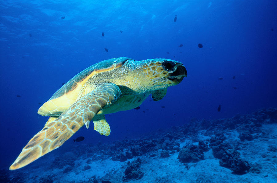 Sea Turtle Photograph by Ken Usami