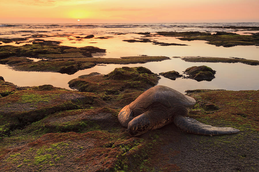 Sea Turtle On Mossy Rocks Photograph by Cultura Exclusive/stuart Westmorland