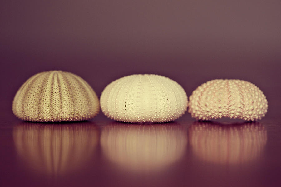 Sea Urchin Shell Photograph by Amelia Kay Photography