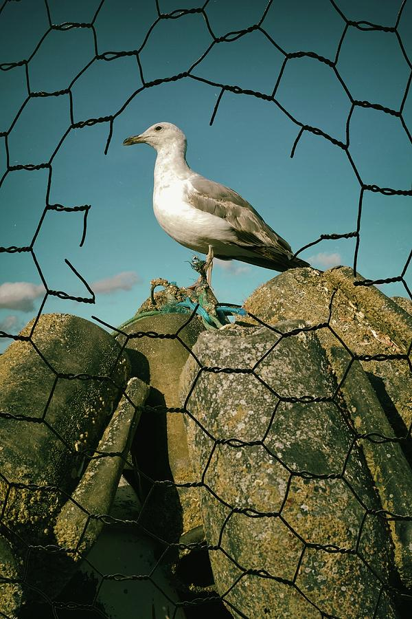Seagull and Wire Fence by Carlos Caetano