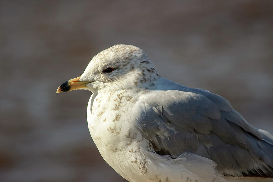 Bird Photograph - Seagull Close-up by Laura Smith