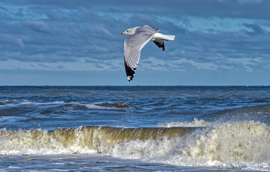 Seagull Fly-by by David Kay