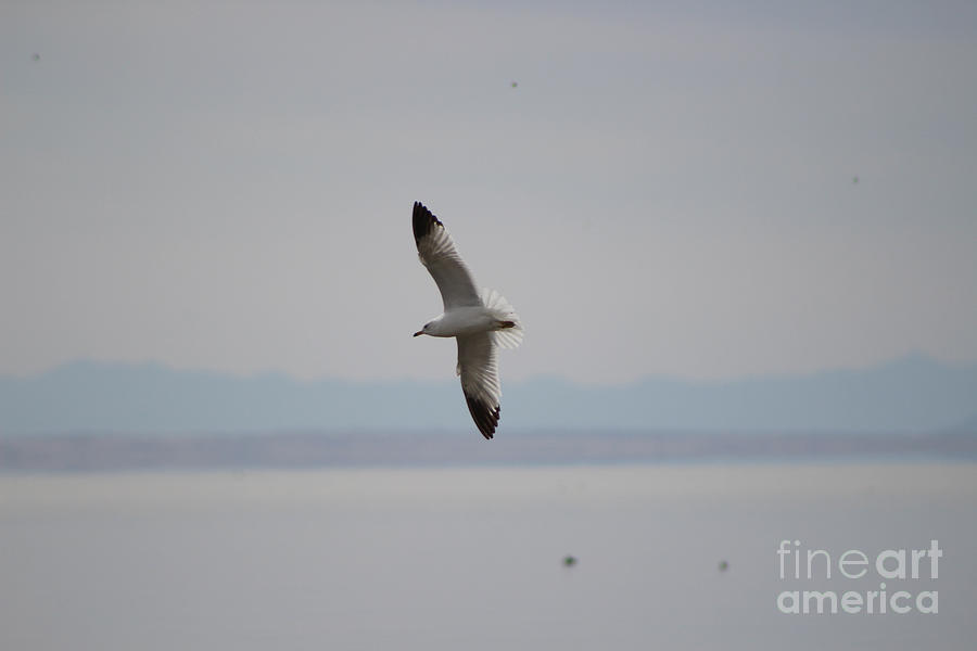 Seagull Flying Over The Salton Sea by Colleen Cornelius