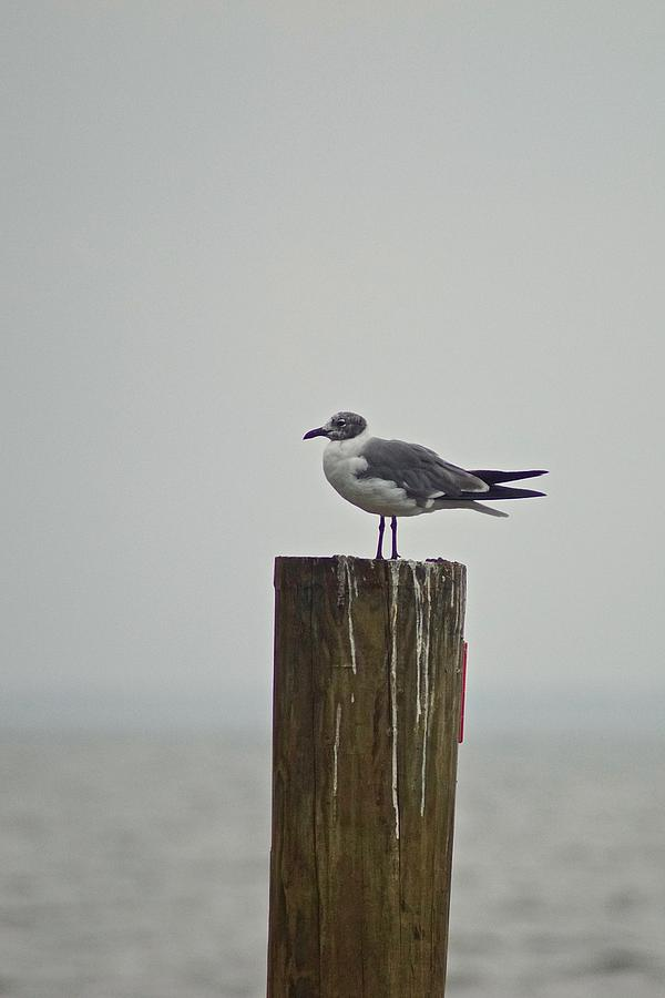 seagull by Gillis Cone