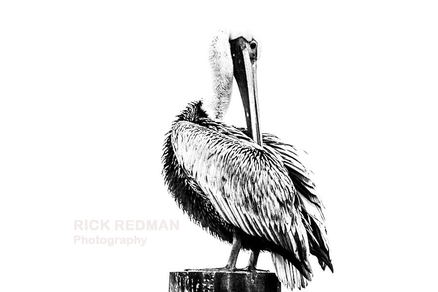 Seagull in black and white by Rick Redman