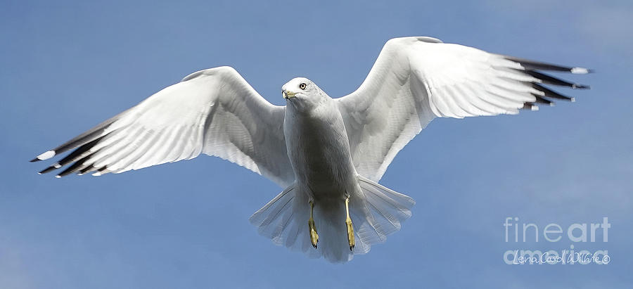Seagull Photograph - Seagull In Flight by Lena Wilhite