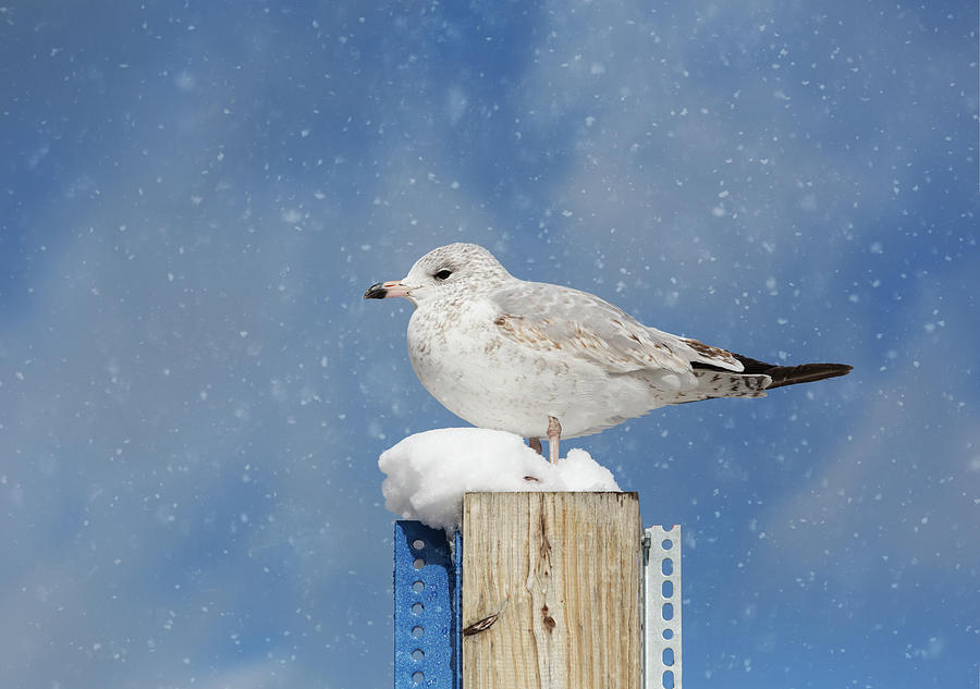 Seagull in the Snow by Kim Hojnacki