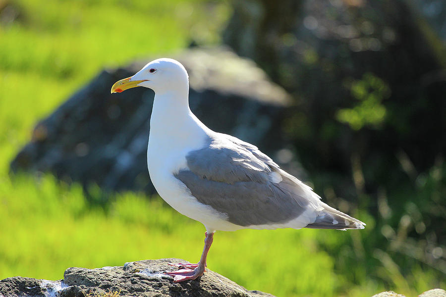 Seagull by Pacific Northwest Sailing