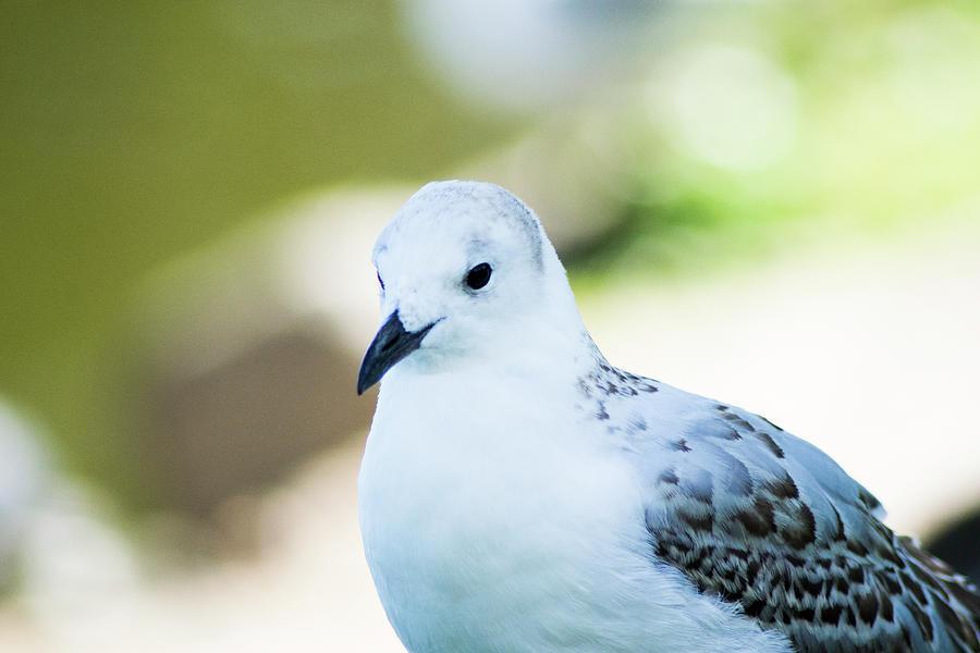 Seagull Portrait 3 Photograph