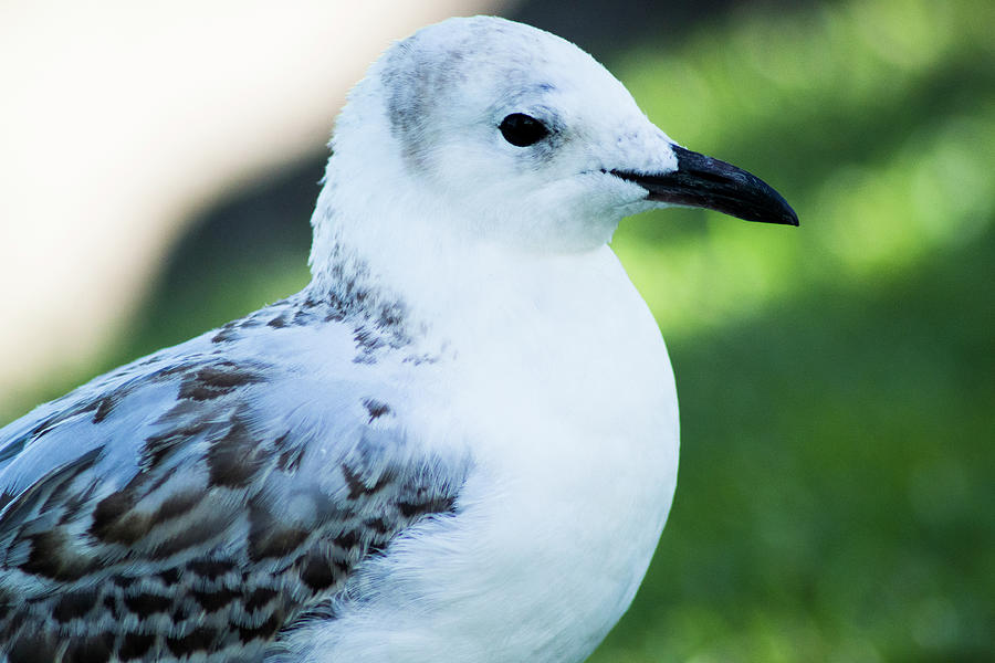 Seagull Portrait 4 by Naomi Burgess
