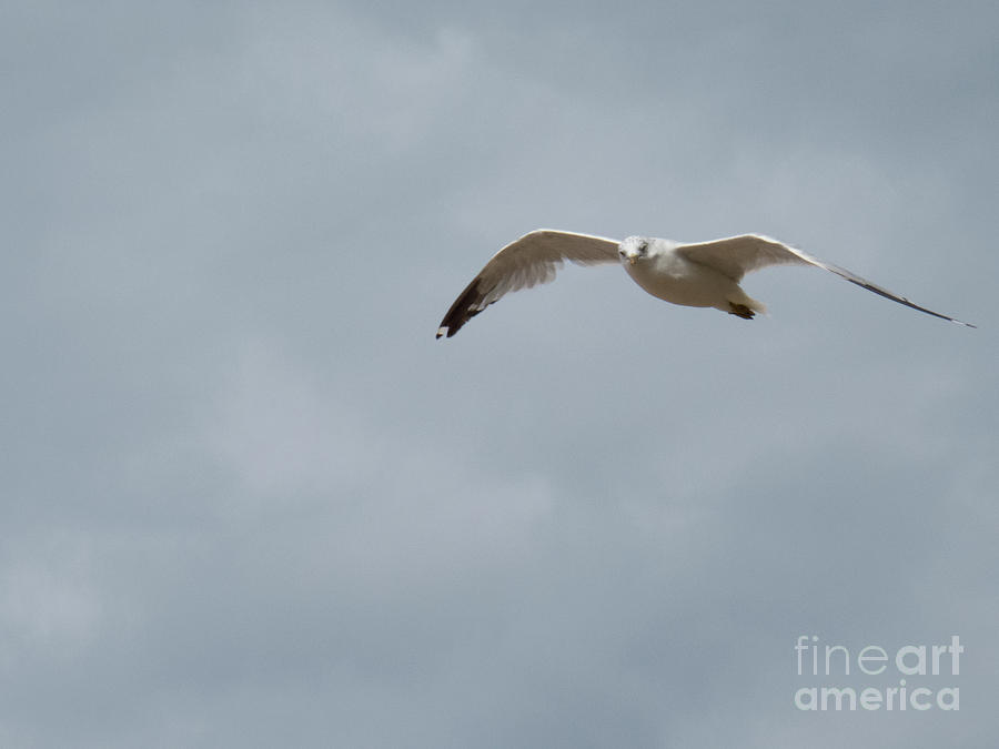 Seagull Soaring  by Christy Garavetto