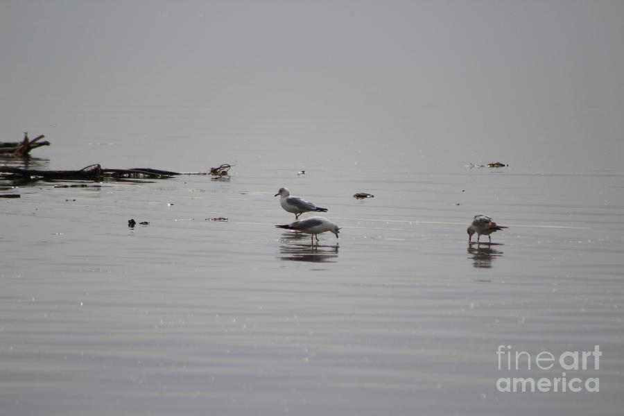 Seagulls Foraging The Salton Sea by Colleen Cornelius