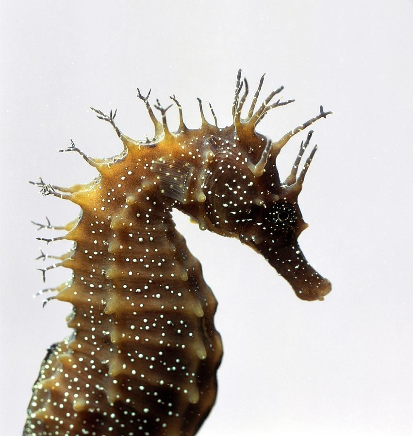 Seahorses Head In Profile Photograph by Frank Greenaway