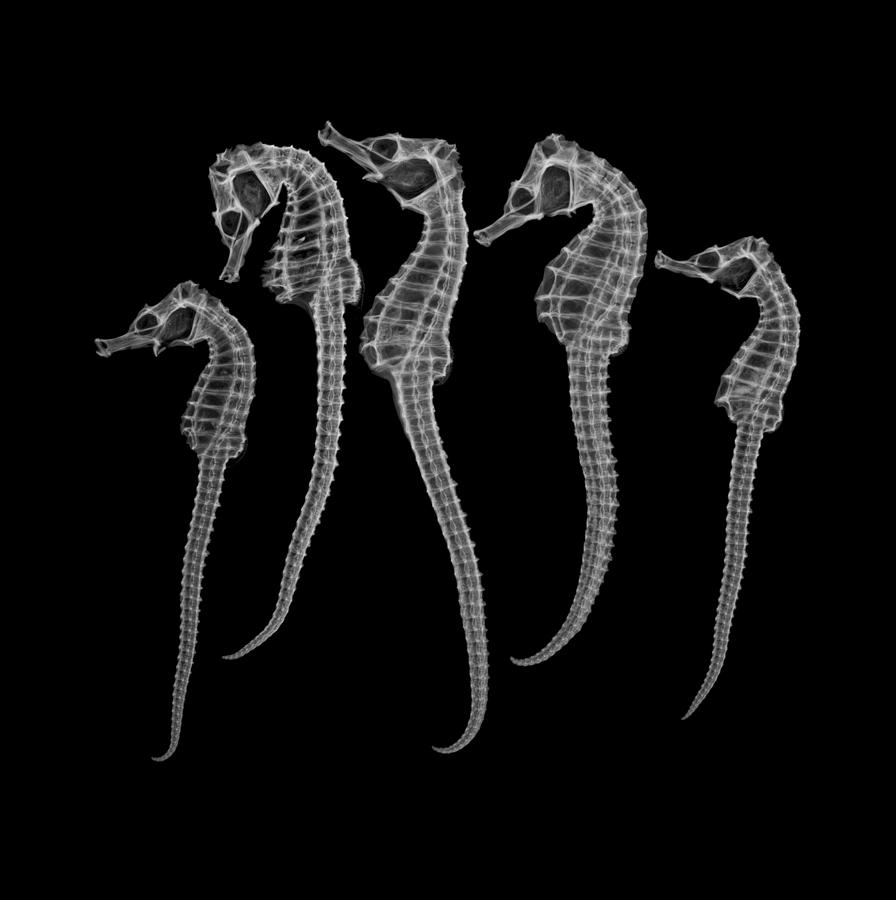 Seahorses Photograph by Surfactant