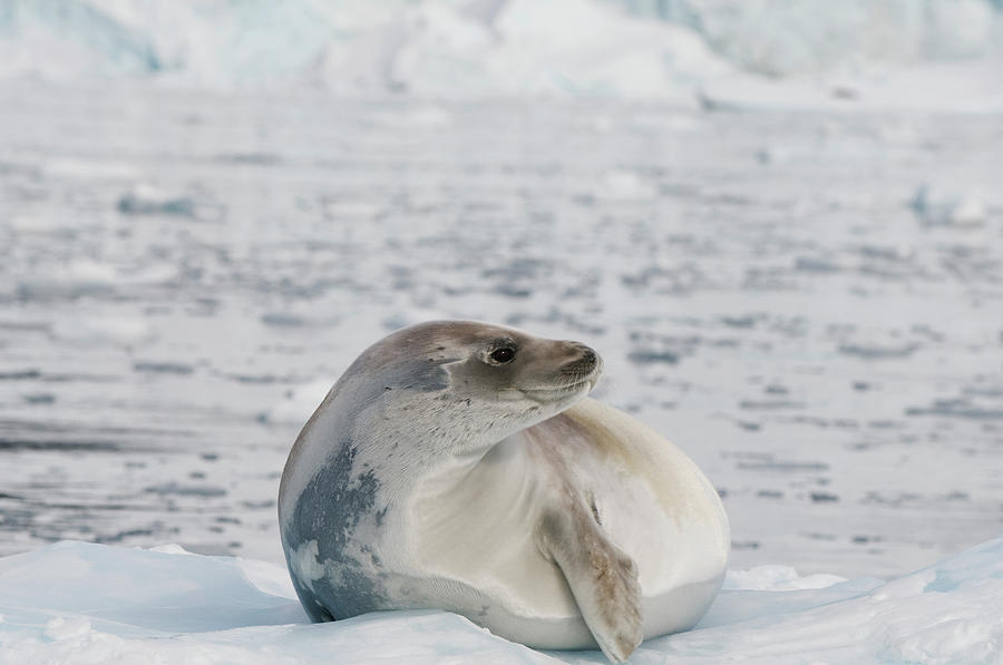 Seal On The Ice Photograph by Jim Julien / Design Pics