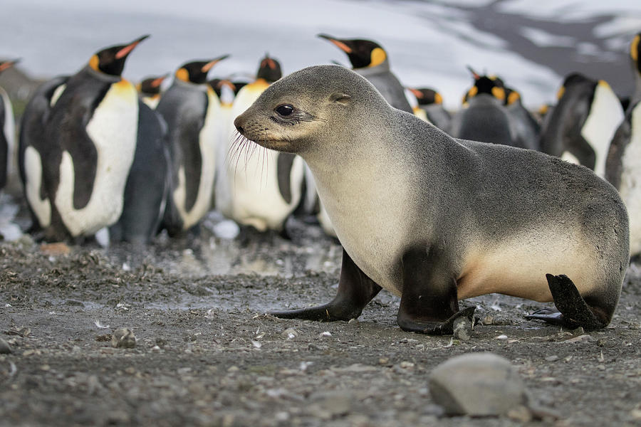 Atlantic Ocean Photograph - Seal Pup With King Penguins On Beach by Tom Norring