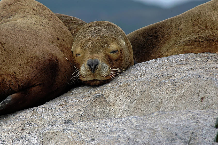 Sealions Photograph by Amateur Photographer, Still Learning...