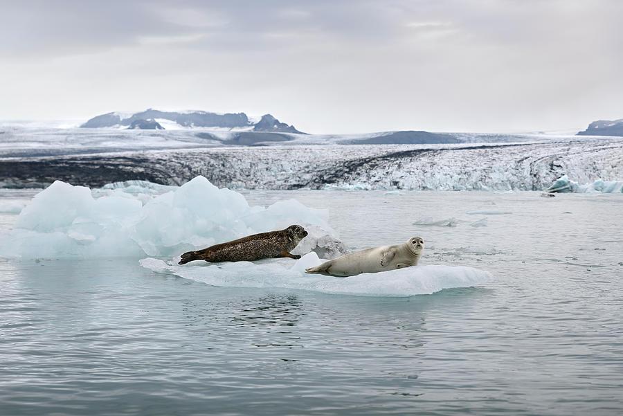 Seals on an iceberg in Jokulsarlon glacier lagoon by RicardMN Photography