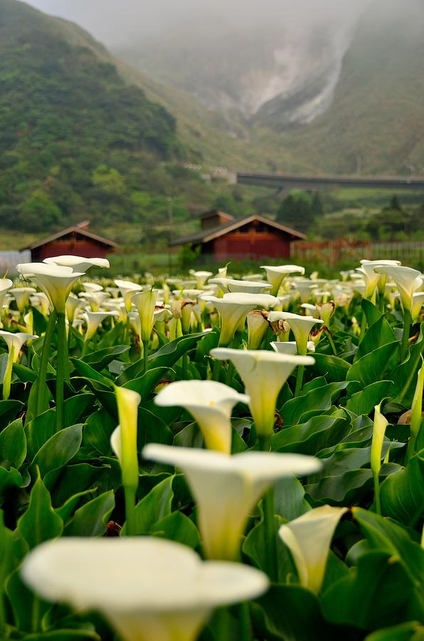 Seasons Of Calla Lilies~~ Photograph by Photo@stanley Hsu From Taiwan