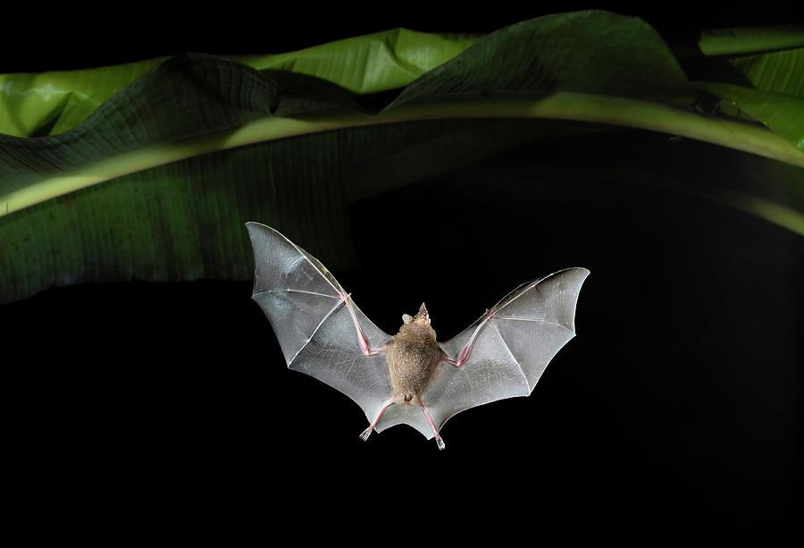 Animal Photograph - Sebas Short-tailed Fruit Bat Flying by Ivan Kuzmin
