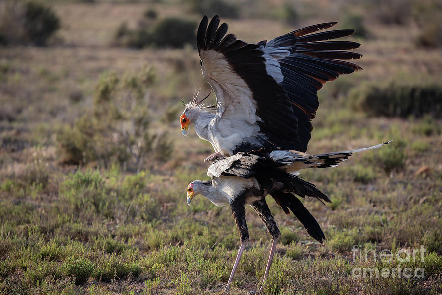 Secretary Birds Mating by Eva Lechner