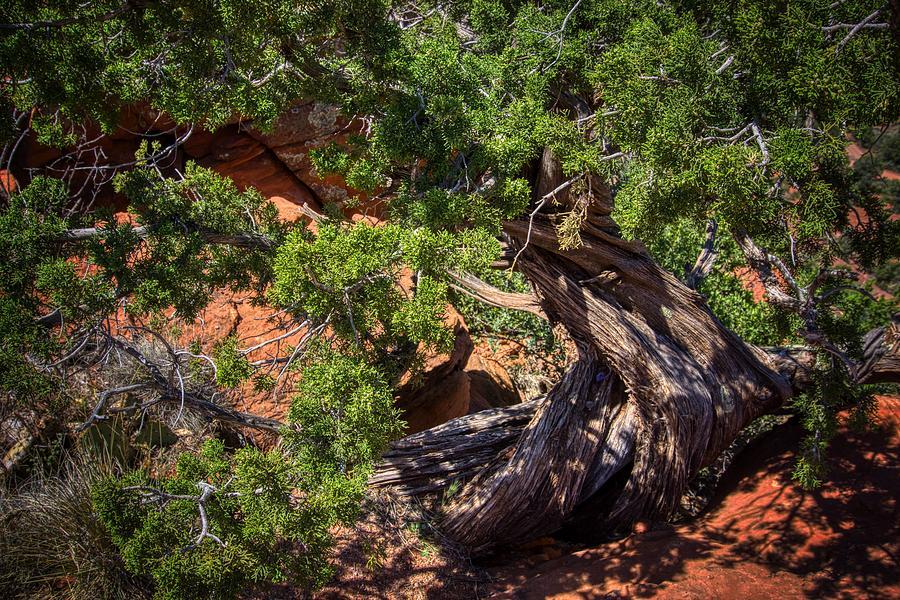 Sedona Tree by Ants Drone Photography