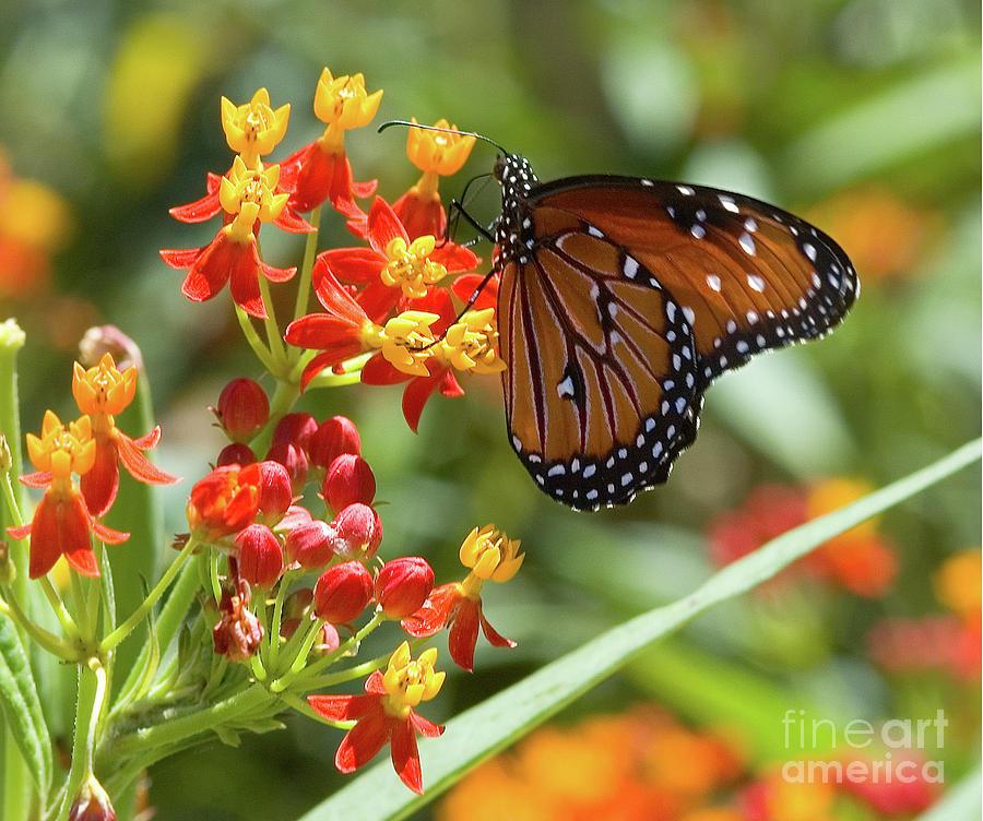 Butterflies Photograph - Butterfly  by Mae Wertz