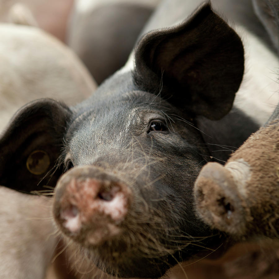 Selective Focus Of A Pig Photograph by Bartco