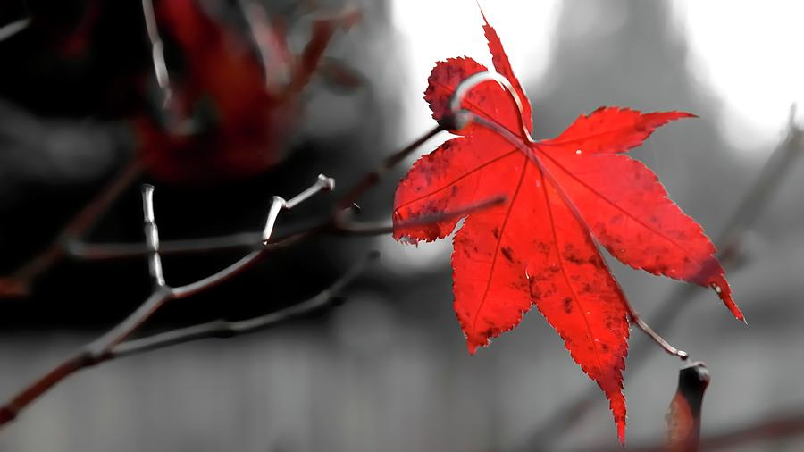 Selective Red Maple Leaf Photograph