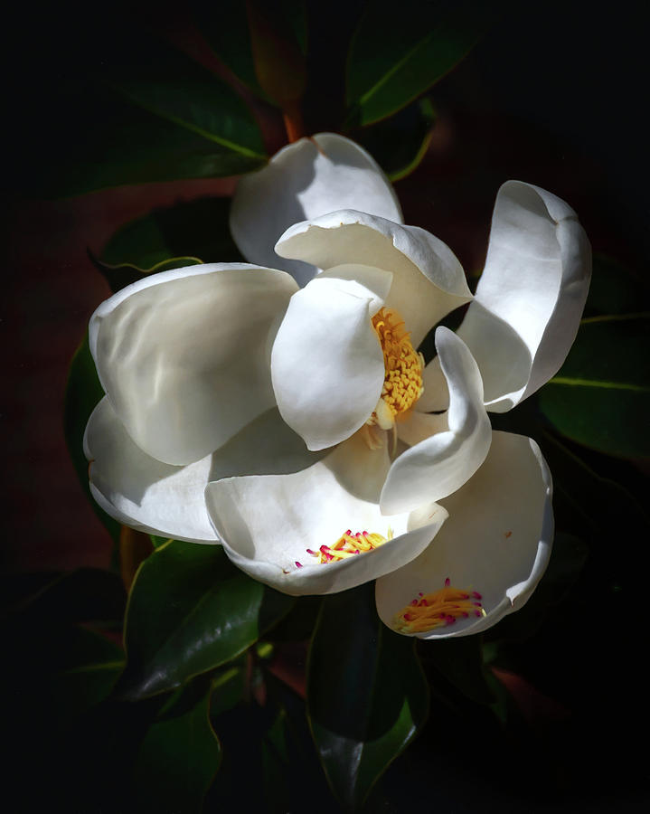 Seminary Magnolia  by Harriet Feagin