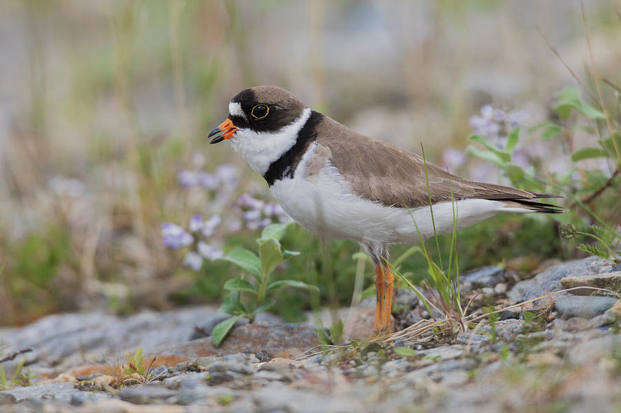 Alaska Photograph - Semipalmated Plover Calling, Creek Bed by Ken Archer