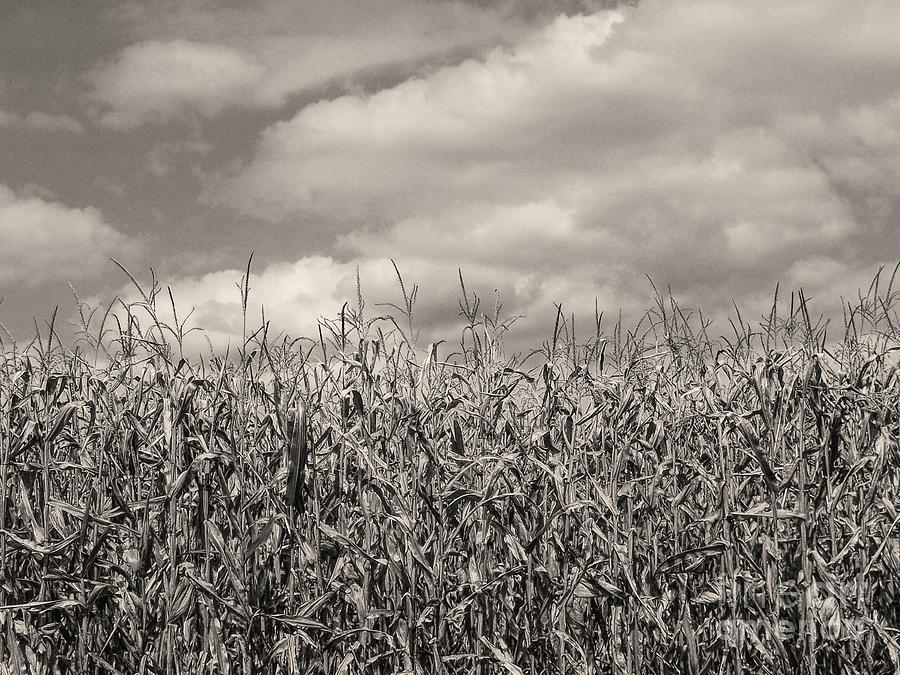 Sepia Tone Photograph - Sepia Field Of Corn by Phil Perkins