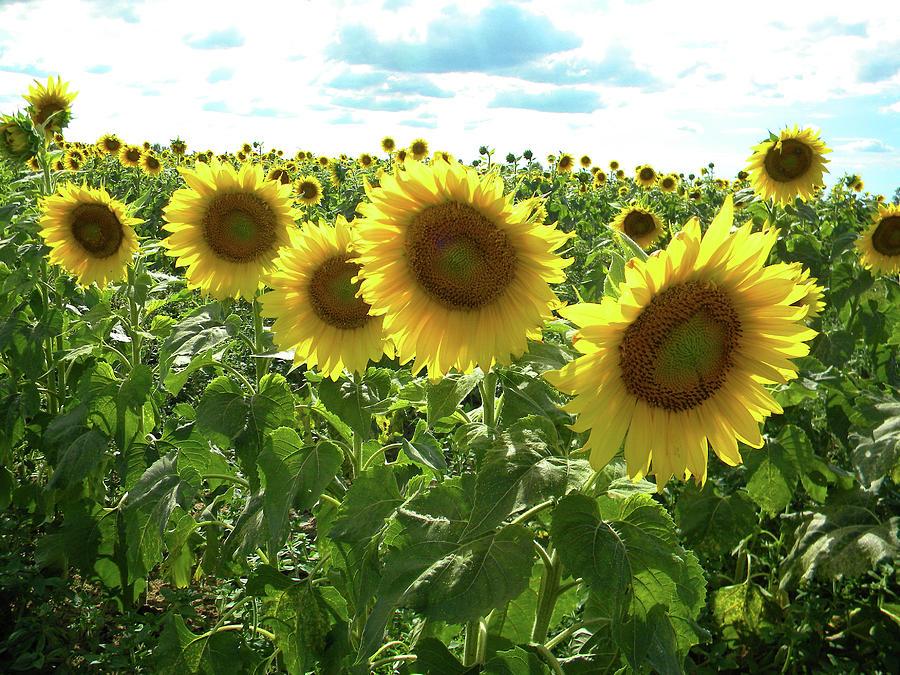 September Sunflowers by Matthew Seufer