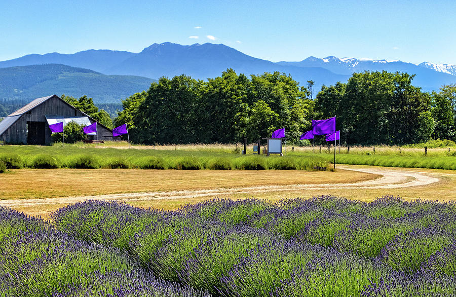 Sequim Lavender Farm by Carolyn Derstine