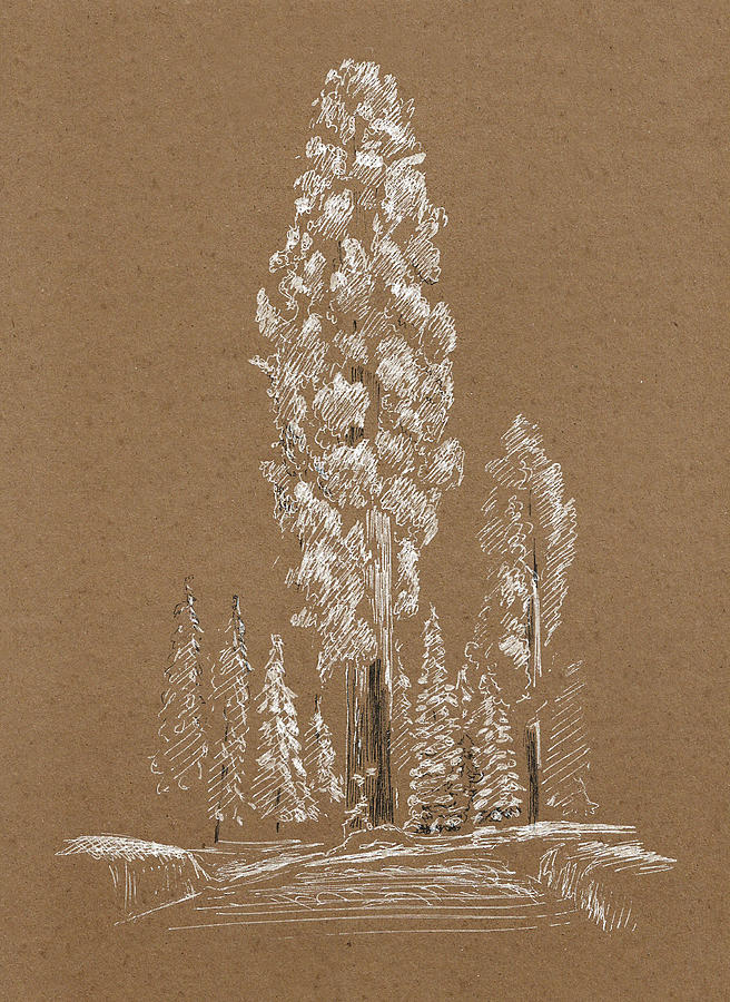 Winter Drawing - Sequoia. Winter. Sketch by Masha Batkova