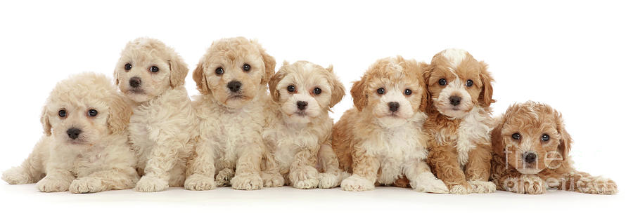 Seven Cavapoochon puppies by Warren Photographic