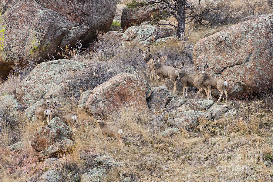Seven Mule Deer by James BO Insogna