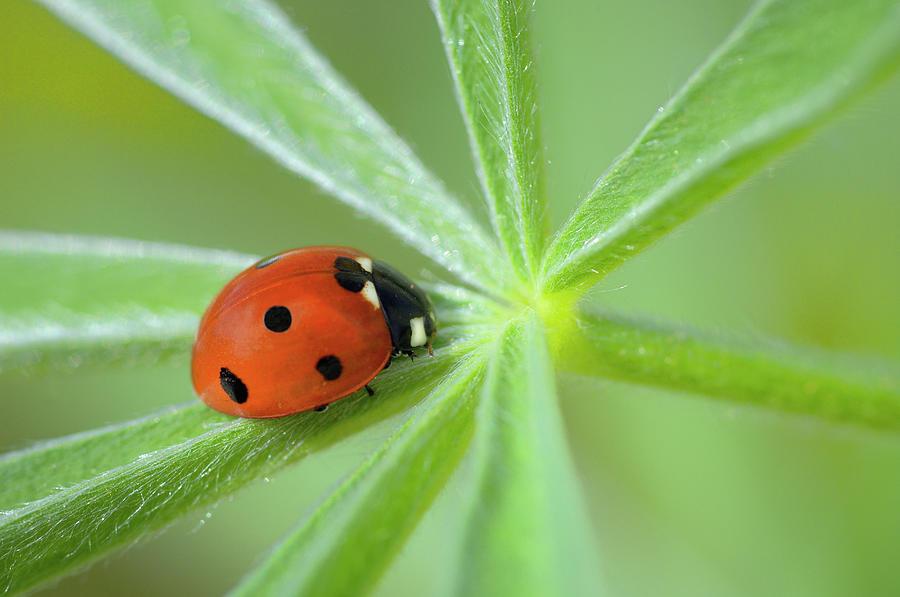 Seven Spot Ladybird Coccinella Photograph by Cornelia Doerr