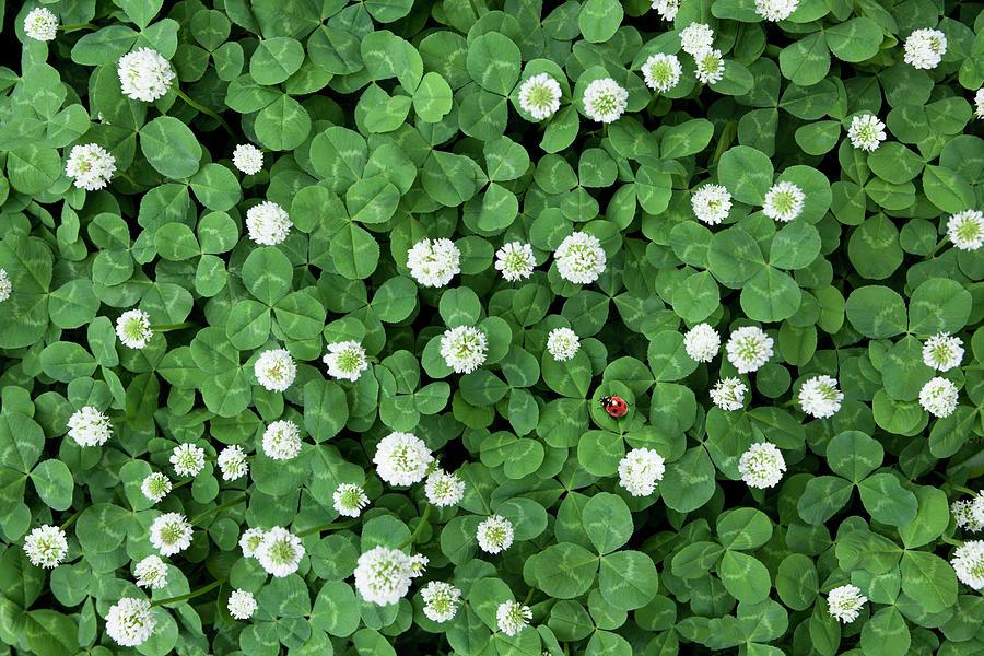 Seven-spot Ladybird In Clover Field Photograph by H&c Studio