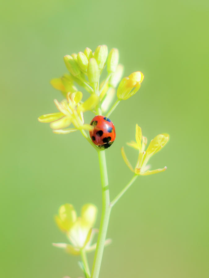 Seven Spot Ladybird Photograph by Polotan