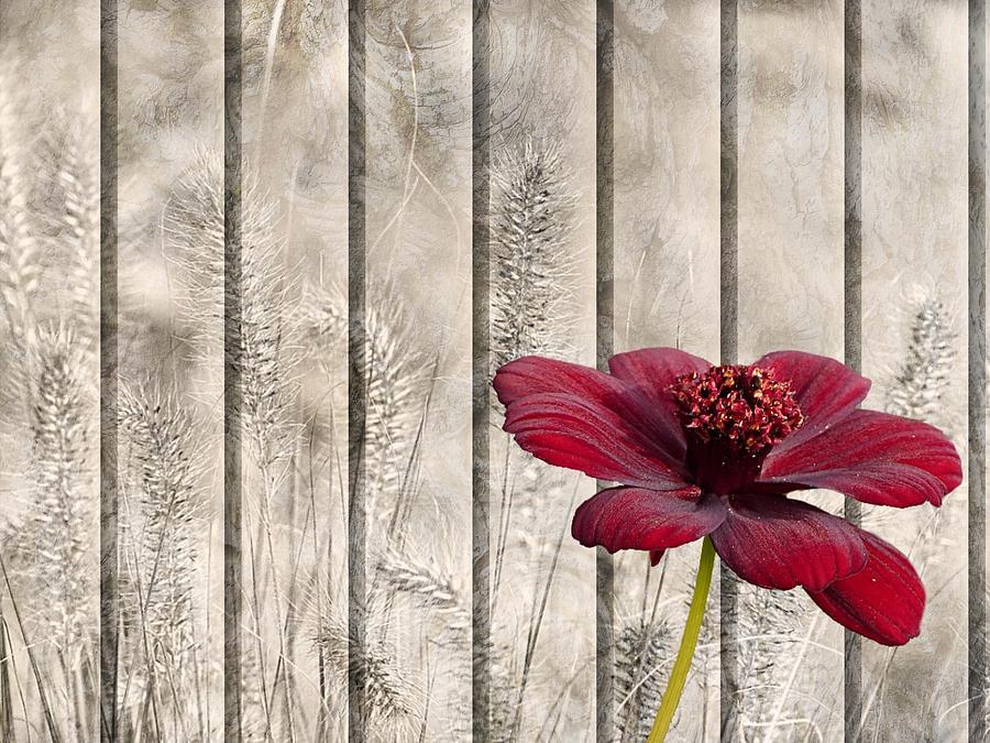 Shabby Chic Style Red Chocolate Flower Cosmos Atrosanguineus  by Joy of Life Arts