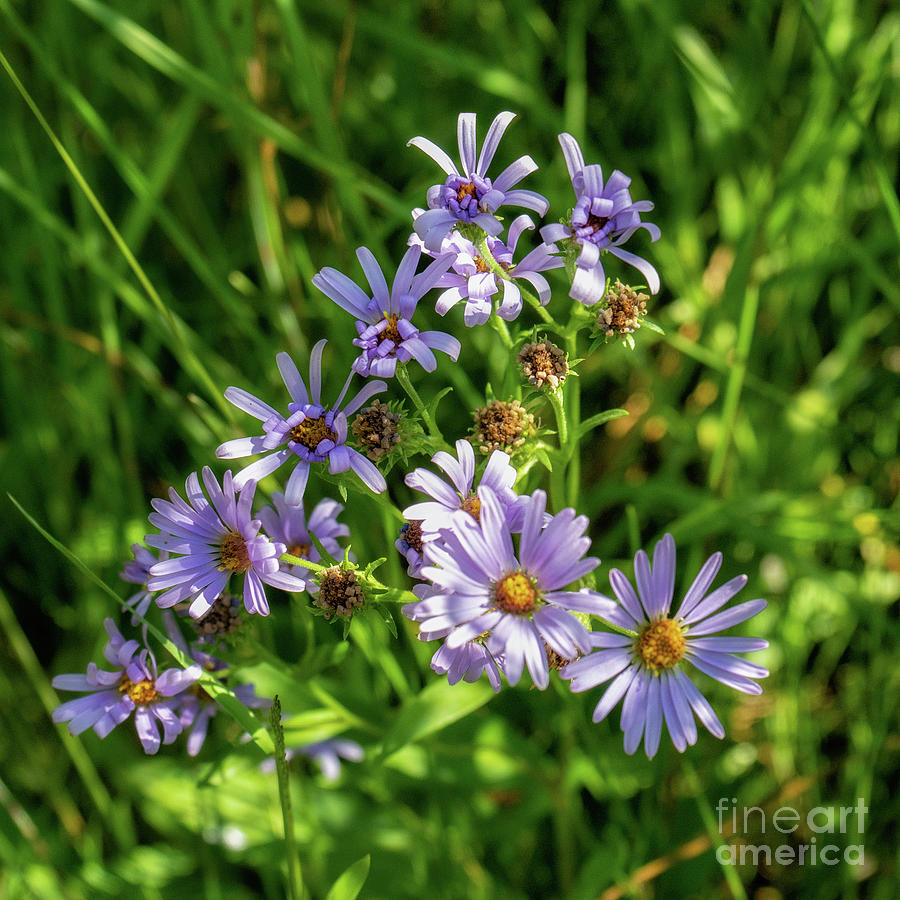 Shaded Asters by Roxie Crouch