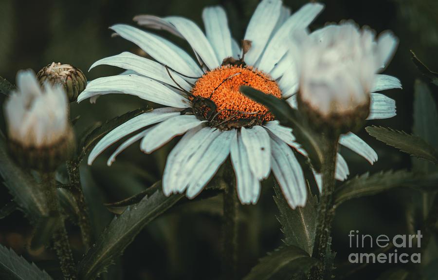 Shaded Daisy. Flower Photograph by Stephen Geisel
