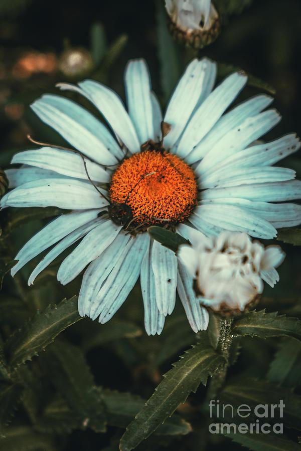Shaded Daisy II. Flower Photograph by Stephen Geisel