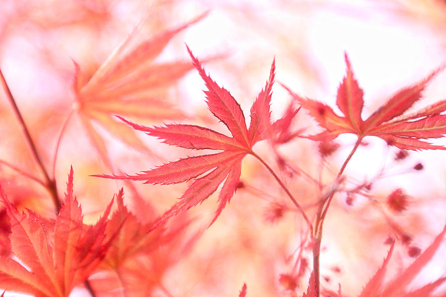 Shades of Maple by Linda James