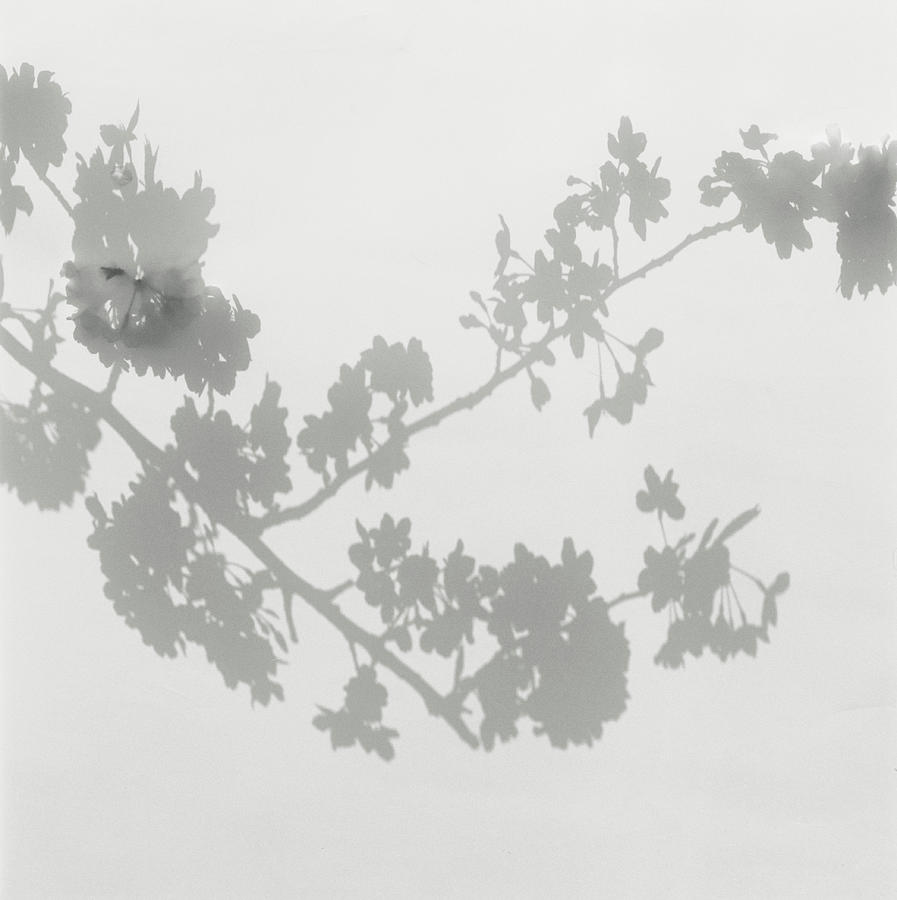 Shadow Of Cherry Blossoms On Wall Photograph by Eriko Koga