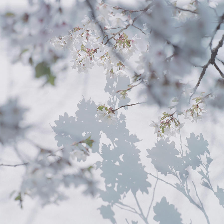 Shadow Of Cherry Blossoms On Wall With Photograph by Eriko Koga